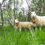 FindMy Launches Next Generation Satellite IoT Livestock Tracker Powered by Globalstar
